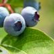 Fresh organic blueberries on the bush - PhotoDune Item for Sale