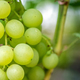 Close-up of bunches of ripe wine grapes - PhotoDune Item for Sale