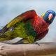 Coconut lorikeet Bird Close-up  Trichoglossus haematodus - PhotoDune Item for Sale