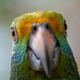 Blue cheeked amazon Parrot Amazona dufresniana - PhotoDune Item for Sale