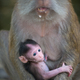 Crab eating macaque, Macaca fascicularis Mother and a baby - PhotoDune Item for Sale