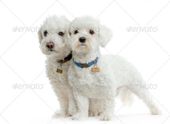 Couple de bichon maltais - Stock Photo - Images