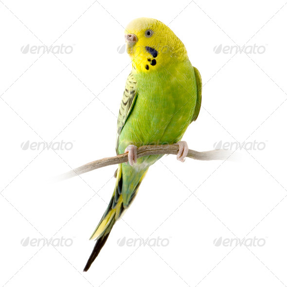 Yellow and green budgie - Stock Photo - Images