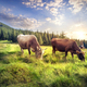 Cows on mountain pasture - PhotoDune Item for Sale