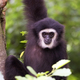 Lar gibbon a portrait - PhotoDune Item for Sale