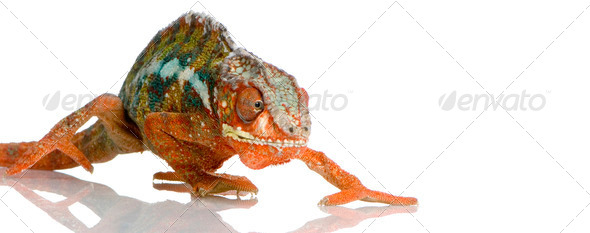 Chameleon Furcifer Pardalis - Stock Photo - Images
