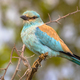 European roller on prickly branch - PhotoDune Item for Sale