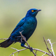 Cape glossy starling - PhotoDune Item for Sale