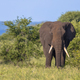 African Elephant walking in bushveld - PhotoDune Item for Sale