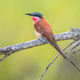 Southern carmine bee eater perched - PhotoDune Item for Sale