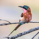 Southern carmine bee eater light background - PhotoDune Item for Sale
