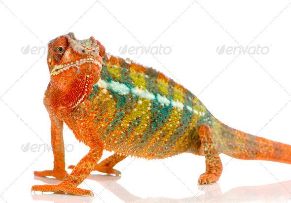 Chameleon Furcifer Pardalis - Stock Photo - Images