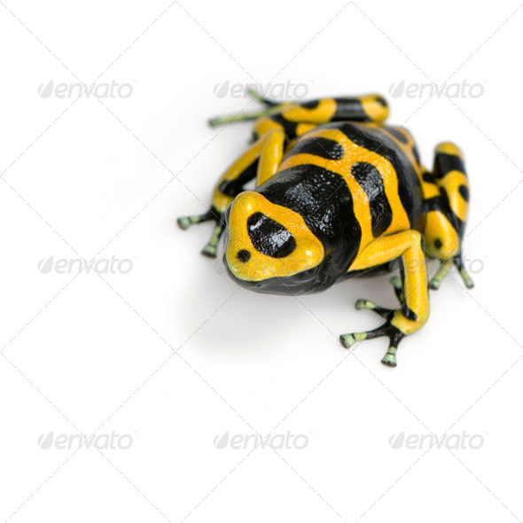 Poison Dart Frog - Dendrobates leucomelas - Stock Photo - Images