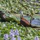 African jacana (Actophilornis africanus) - PhotoDune Item for Sale