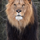 Lion (Panthera leo) - PhotoDune Item for Sale