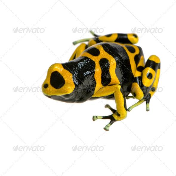 Poison Dart Frog - Dendrobates leucomelas - Stock Photo - Images