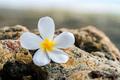 Close up beautiful Plumeria floweron stone in nature - PhotoDune Item for Sale