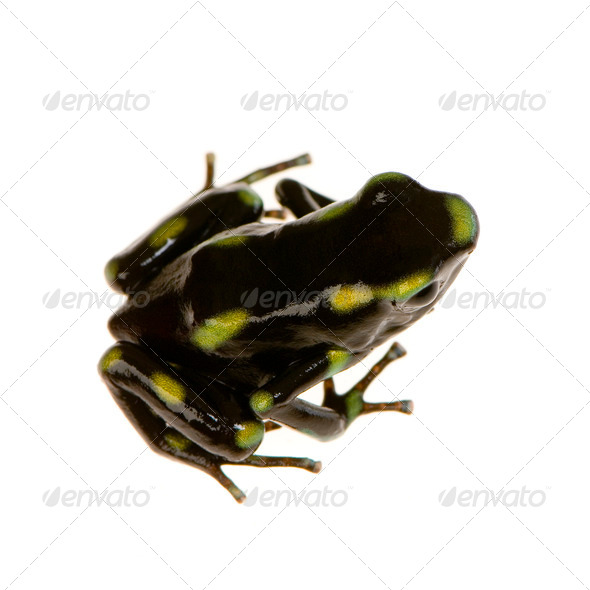 Poison Dart Frog - Dendrobates auratus - Stock Photo - Images