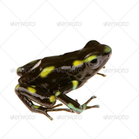 Poison Dart Frog - Dendrobates auratus - Stock Photo - Images