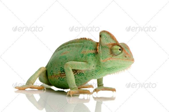 Yemen Chameleon - chamaeleo calyptratus - Stock Photo - Images