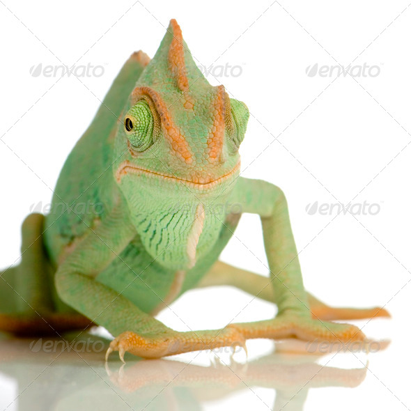 Yemen Chameleon - chamaeleo calyptratus - Stock Photo - Images