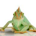 Yemen Chameleon - chamaeleo calyptratus