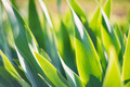 Green iris leaves in garden for abstract spring background - PhotoDune Item for Sale