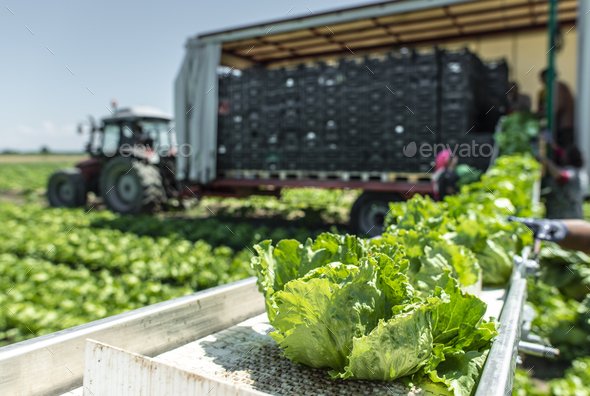 Tractor with production line for harvest lettuce automatically. - Stock Photo - Images