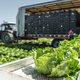 Tractor with production line for harvest lettuce automatically. - PhotoDune Item for Sale