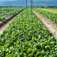 Spinach farm. Organic spinach leaves on the field. - PhotoDune Item for Sale