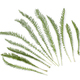 Fresh leaves of Common yarrow - PhotoDune Item for Sale