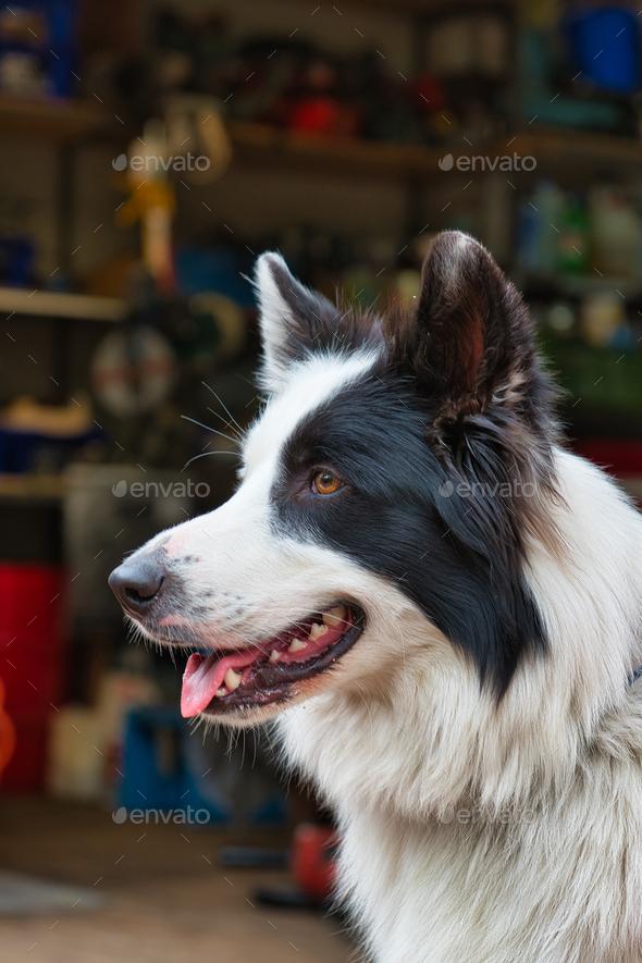 Portrait of cute white black dog - Stock Photo - Images