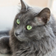 female Nebelung cat - PhotoDune Item for Sale
