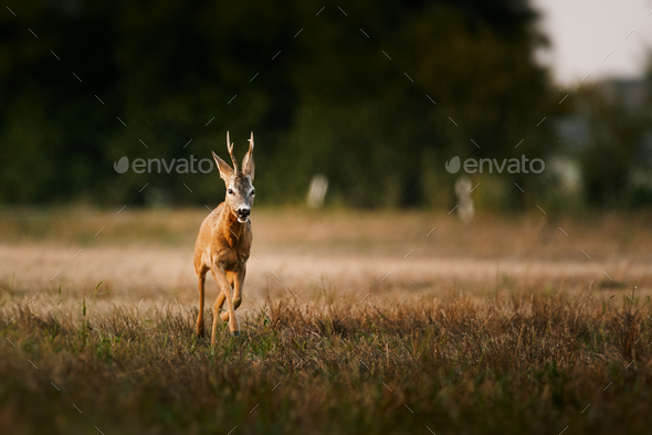 Roe deer buck on a field - Stock Photo - Images