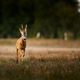 Roe deer buck on a field - PhotoDune Item for Sale