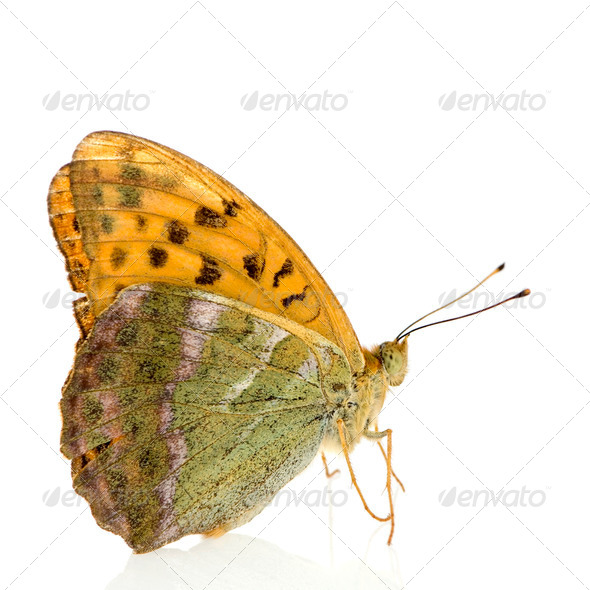 Silver Washed Fritillary Butterfly - Stock Photo - Images