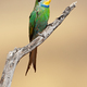 Swallow-tailed bee-eater - PhotoDune Item for Sale