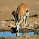 Springbok antelope drinking water - Kalahari - PhotoDune Item for Sale