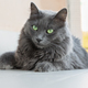 nebelung breed cat - PhotoDune Item for Sale