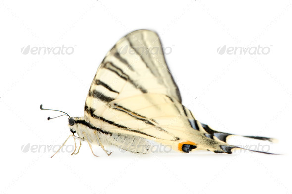 Swallowtail Butterfly - Stock Photo - Images