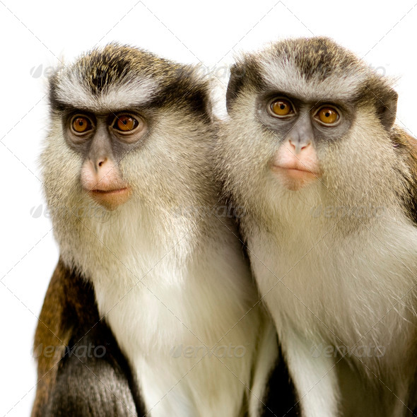 Cercopithèque Mone - Cercopithecus mona - Stock Photo - Images