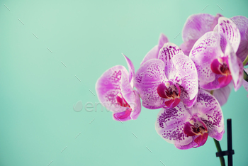 Branch of violet orchid on pastel blue background. Banner with copy space. Spring, woman day concept