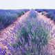Beautiful lavender fields in bloom - PhotoDune Item for Sale