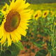 Sunflower field crops in a sunny day - PhotoDune Item for Sale
