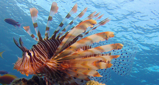 Underwater Fish Reef Marine Lion-Fish
