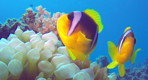 Underwater Tropical Colorful Clown-Fish