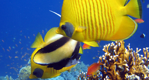Tropical Fish Reef Marine