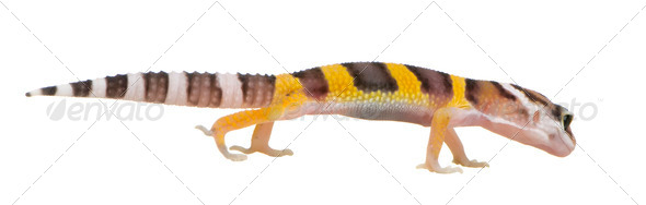 Juvenile Leopard gecko - Eublepharis macularius - Stock Photo - Images