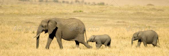 African Elephant Masai mara Kenya - Stock Photo - Images