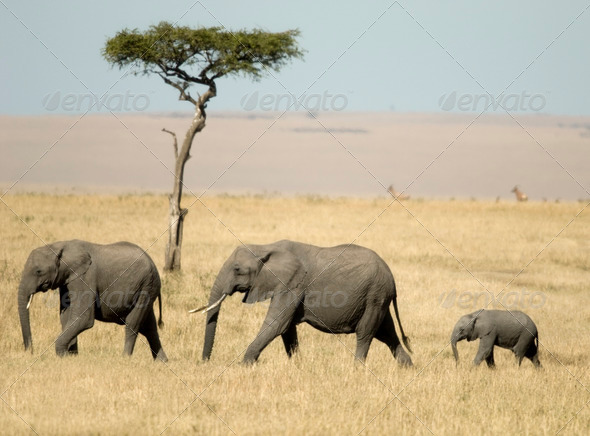 African Elephant Masai mara Kenya - Stock Photo - Images